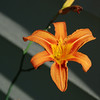 Playing at home: Lilies