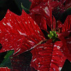 Minneapolis poinsettias : Beautiful poinsettias, other flowers, fairy gardens and fun thinggs at Tonkdale Greenhouse in Minnetonka, MN. My sister-in-law, Beth Wulf, works here.