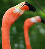 Bahamas trip: Ardastra Gardens : Ardastra Gardens in Nassau, Bahamas, home of the marching flamingos!